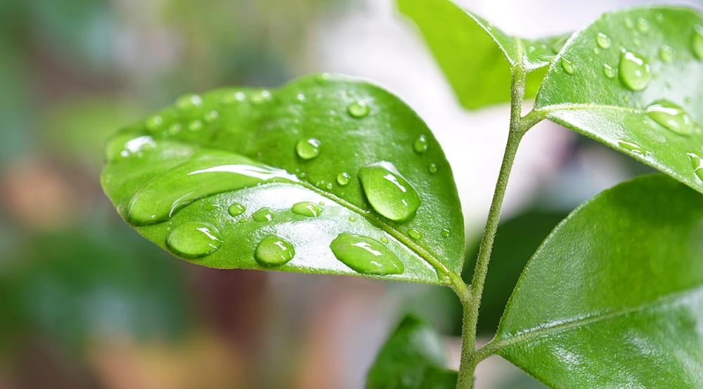 Planta Aliviar a Ansiedade